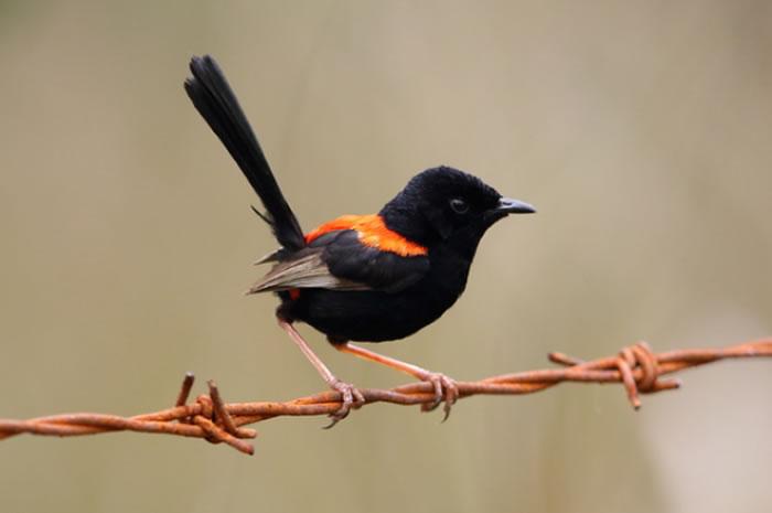 原产于澳大利亚的红背细尾鹩莺(Malurus melanocephalus)