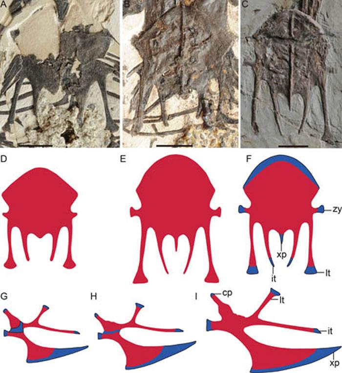 匙吻古喙鸟胸骨骨化模式图(蓝色:软骨;红色:硬骨)(王敏供图)