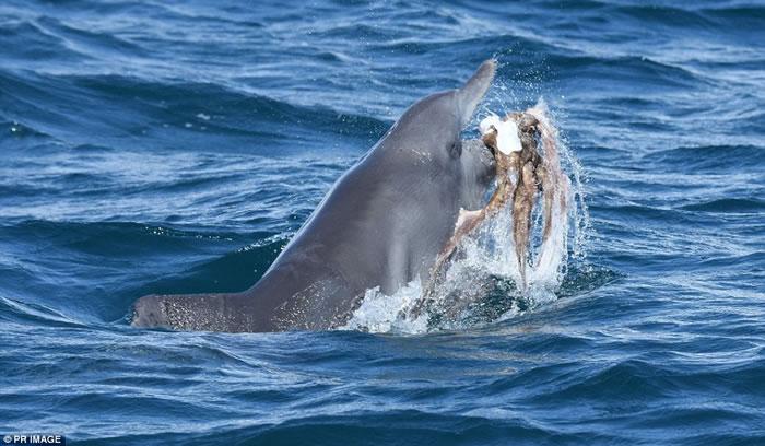 """澳洲海豚""""欺负""""章鱼"""