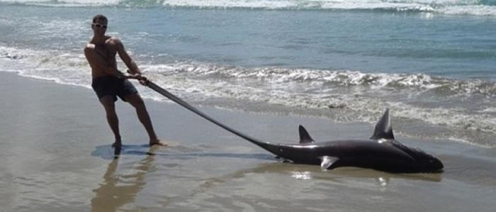 斯特赫利克提住大眼长尾鲨的尾巴拍照。