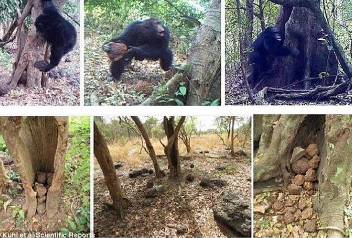 德国科学家发现西非黑猩猩会把石块敲掷在树上,似人类宗教仪式