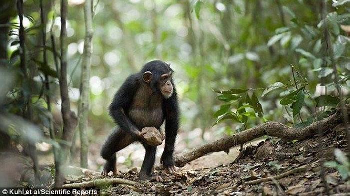 摄影机亦拍得雌性甚至年幼的黑猩猩都有同样习惯