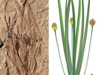 渤海大学古生物中心发现全球最早的草本被子植物——1.64亿年前的渤大侏罗草