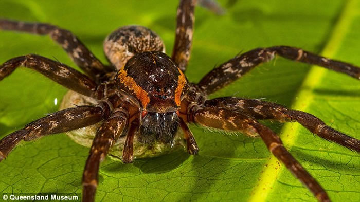 """澳洲东海岸淡水中发现新品种蜘蛛""""Dolomedes briangreenei"""" 能潜水捕鱼"""