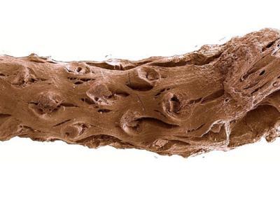 加拿大采石场发现距今1.4亿年前的松树化石