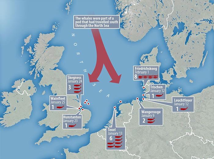 数十头抹香鲸可能因贪吃搁浅欧洲各国海滩