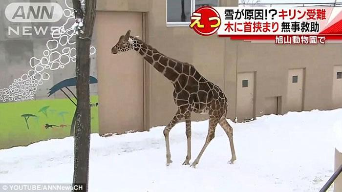 """日本动物园长颈鹿不慎将脖子卡在""""树枝""""&日本漫画吃面搞笑nbsp;"""