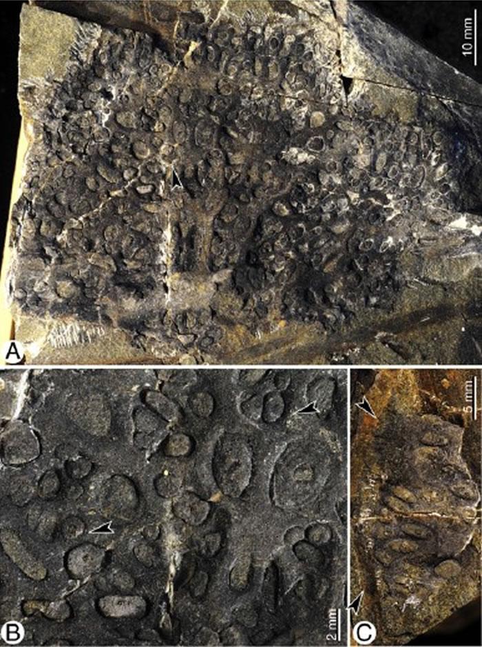 新疆中泥盆世地層發現最早的石松類球莖狀