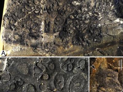新疆中泥盆世地层发现最早的石松类球茎状根系化石
