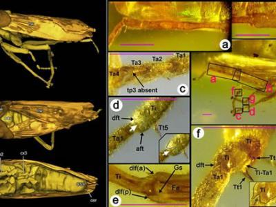 中德合作研究发现产自白垩纪缅甸琥珀的一个昆虫纲化石新目:奇翅目Alienoptera