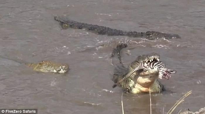 东非马拉河边斑马群受到水中埋伏的鳄鱼攻击