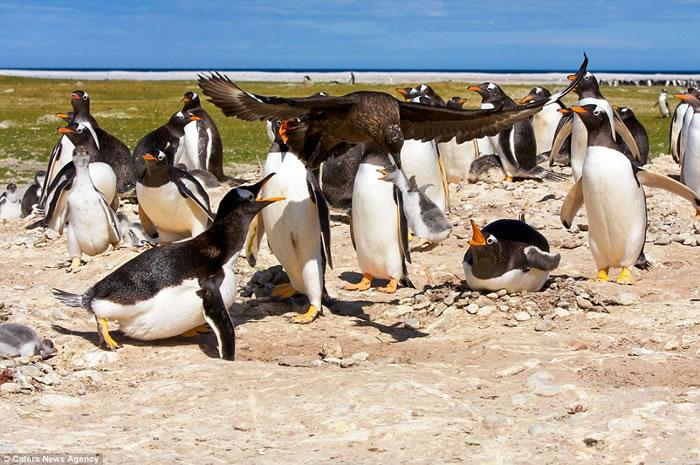 南美洲福克兰群岛上演贼鸥掳走小企鹅一幕