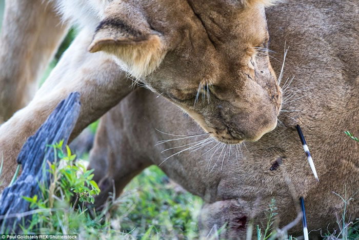 万兽之王落难时:肯尼亚狮子屁股插满豪猪箭