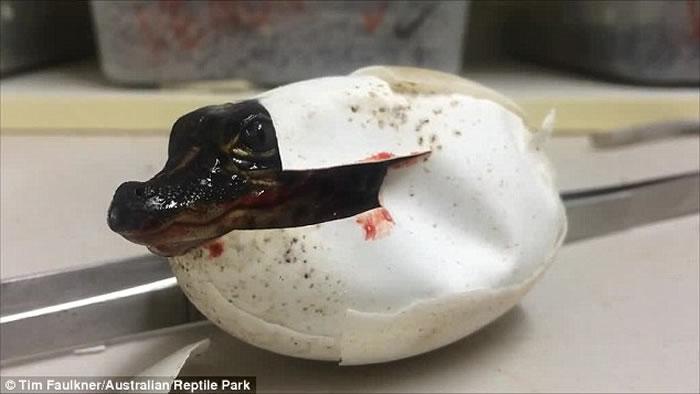 """澳洲爬虫动物公园短吻鳄破壳而出 诞生过程如电影""""侏罗纪公园""""剧情"""