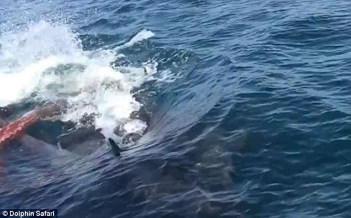 美国加州伪虎鲸妈妈游到赏鲸船边突然产下宝宝