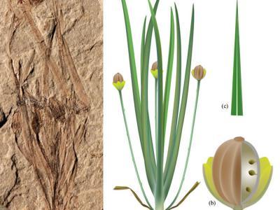 中国内蒙古道虎沟发现中侏罗世草本被子植物——渤大侏罗草(新属种)