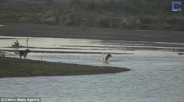 南非无知狗狗河边挑衅 大鳄鱼扑出一口吞噬