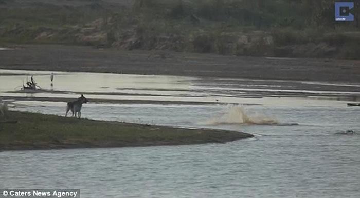 南非无知狗狗河边挑衅,大鳄鱼扑出一口吞噬