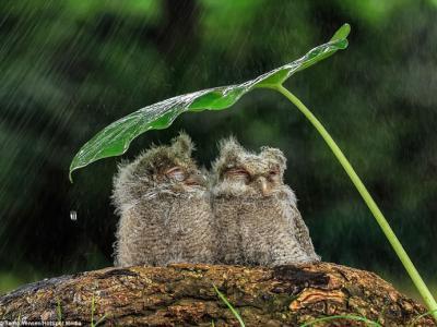 印尼猫头鹰情侣树叶下依偎避雨