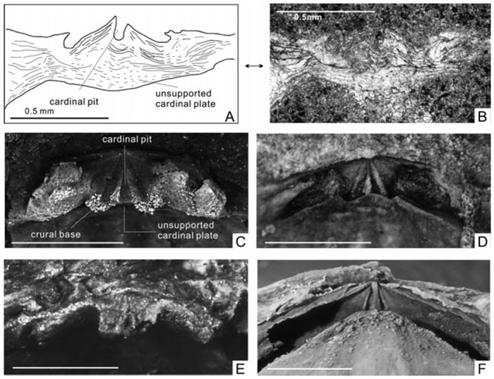 Thulatrypa两个种关键特征的比较,ABEF为Thulatrypa gregaria,CD为Thulatrypa orientalis