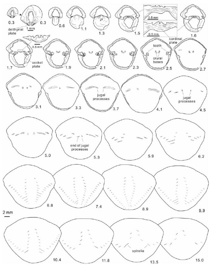 Thulatrypa gregaria的系统切片图