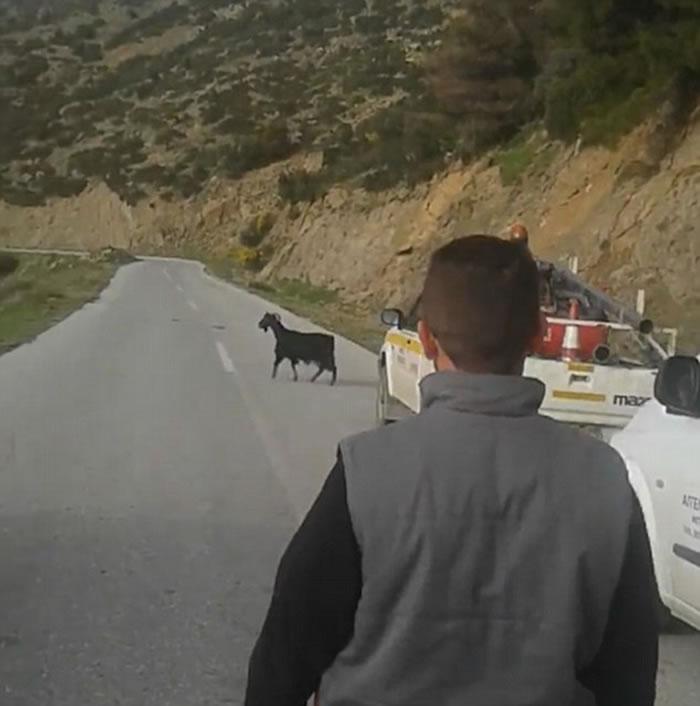 希腊山区一头山羊不知何故竟把羊角卡在6米高电线上