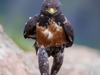 南非出现不明生物?一只鹰(暗棕鵟)降落后居然像人一样行走