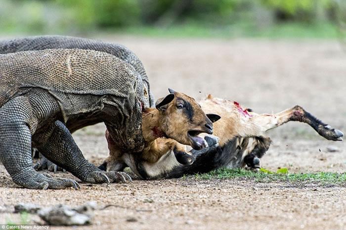 俄罗斯摄影师在印尼拍摄到科莫多龙猎捕山羊的震撼场面