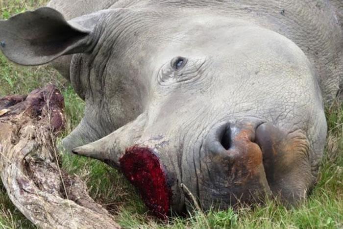 白犀牛遭血腥猎杀