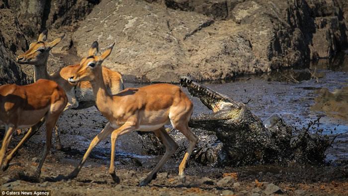 摄影师抓拍南非克鲁格国家公园黑斑羚遭鳄鱼突袭画面