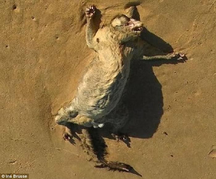 澳洲悉尼迪怀海滩发现不明生物尸体
