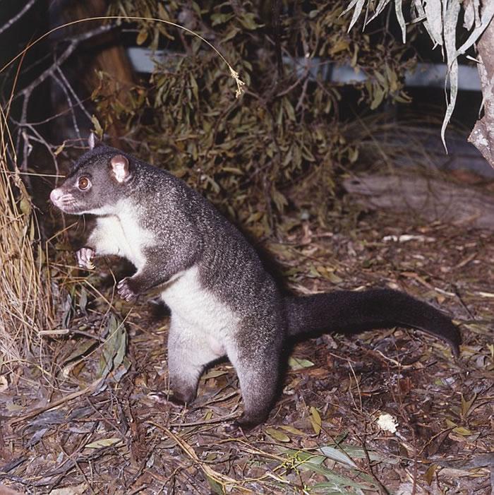 刷尾负鼠是澳洲东北部本土生物
