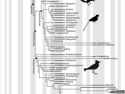 研究表明早白垩世鸟类各个支系的演化速率不均一 早期演化主要受飞行选择压力影响