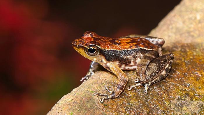 印度西部发现新品种青蛙 快速伸腿如跳舞