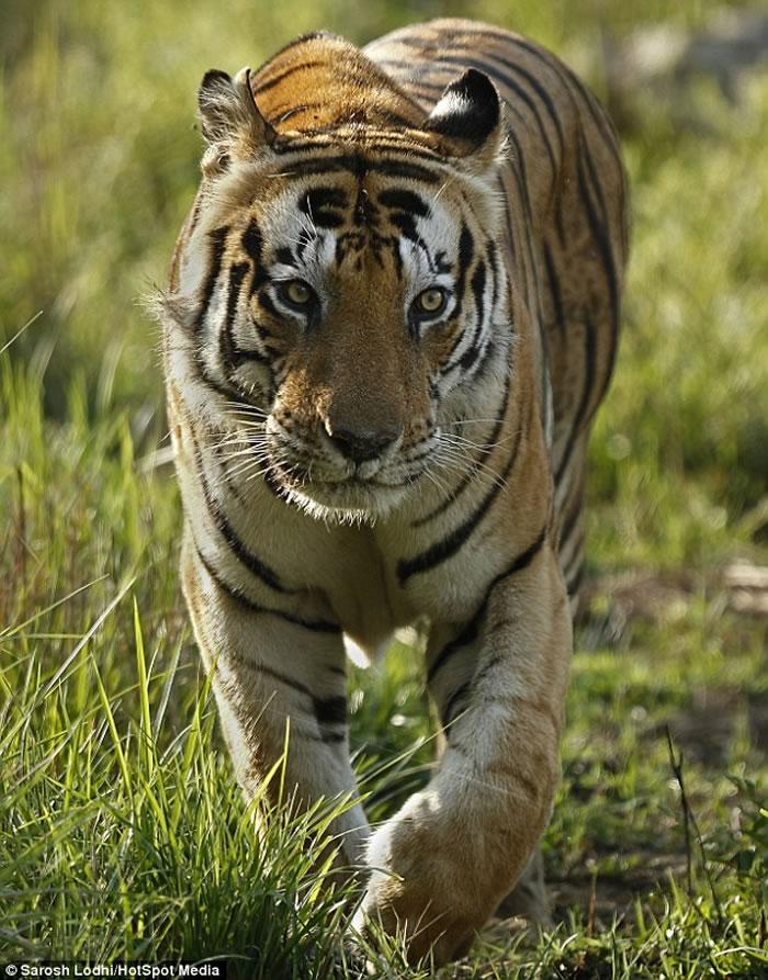 """印度中央邦Kanha国家公园霸气老虎Munna前额像被写上""""CAT""""字样"""