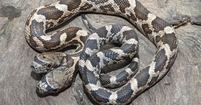 美国堪萨斯州野生双头蛇 其中一个头会攻击另一个头
