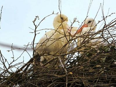 母鹳鸟在克罗地亚遭猎人射伤翅膀 公鹳鸟15年来坚持每年飞13000公里回来相聚