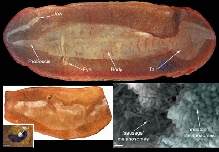 """最新研究证实困扰科学家数十年的3亿年前""""塔利怪物""""真实身份是一种鱼类"""