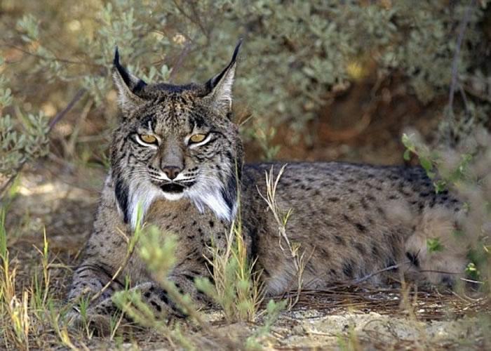 伊比利亚半岛极度濒危之猫科哺乳动物伊比利亚猞猁。