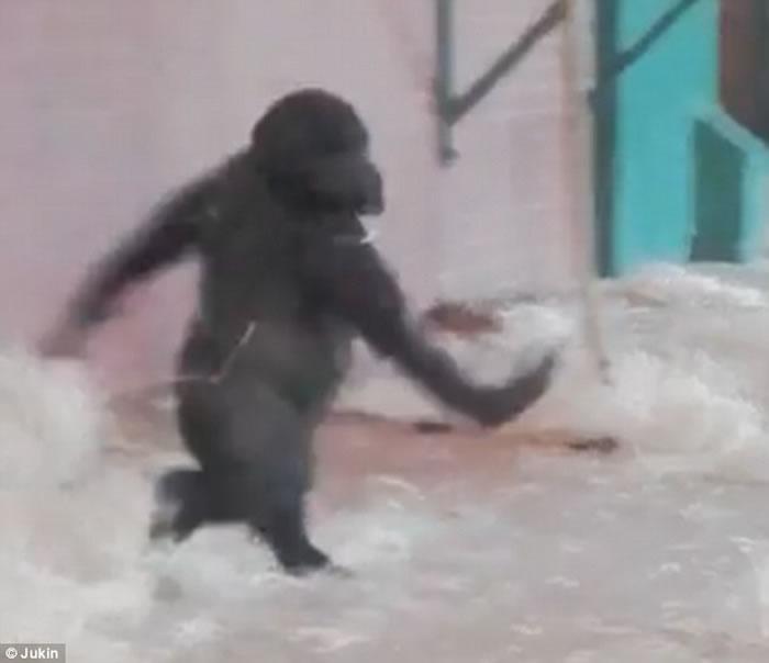 英国莱斯特郡动物园大猩猩忘情跳舞