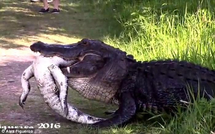 美国佛罗里达州出现鳄鱼吃鳄鱼骇人景象