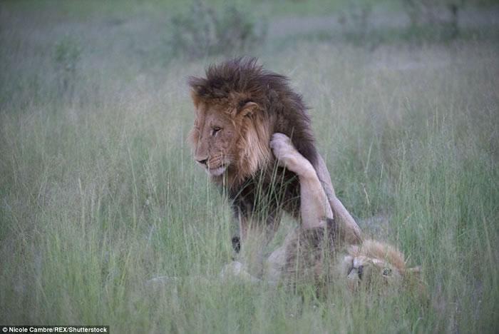 博茨瓦纳宽度河保护区两只雄狮居然亲密缠绵尝试交配