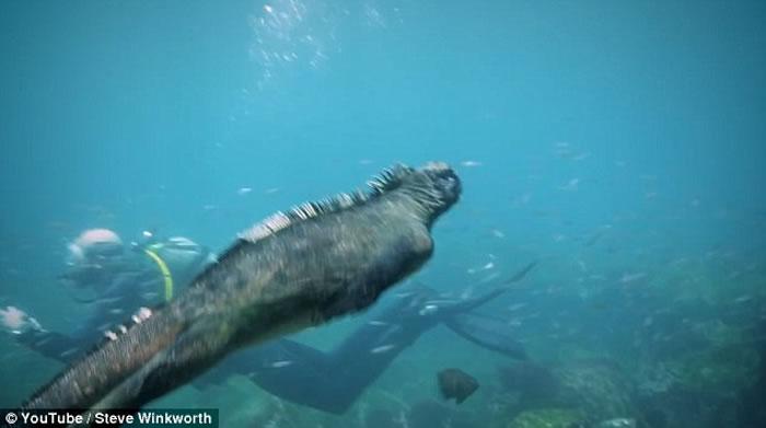 """澳洲男子在太平洋加拉伯戈斯群岛海底拍到""""哥斯拉""""海鬣蜥"""
