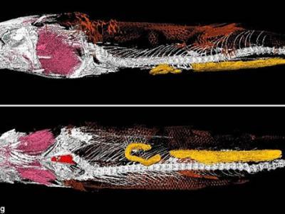 古生物学家于巴西1亿年前棒鞘鱼中发现首例心脏化石样本