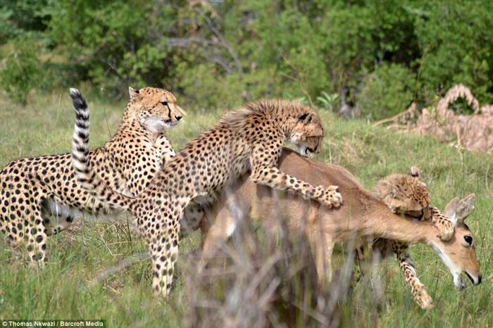 非洲博茨瓦纳莫瑞米野生动物保护区猎豹妈妈教导幼豹如何捕猎小苇羚