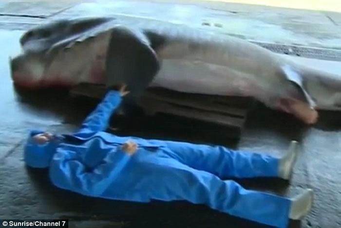 日本渔民意外捕获罕见5米长巨口鲨