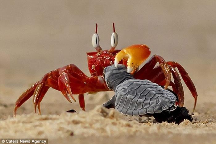 """摄影师拍到""""蟹老板""""沙蟹壮臂欺负初生小海龟"""