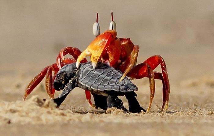 """""""蟹老板""""用蟹钳抓住小海龟,让它动弹不得。"""