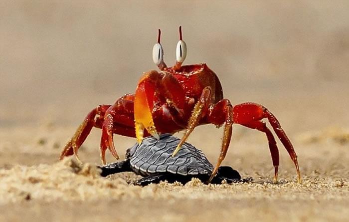 """""""蟹老板""""用强而有力的臂弯,将小海龟的头部塞入沙里。"""