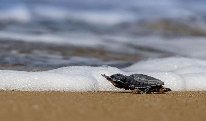 幸好,这只小海龟最后都能逃出生天。